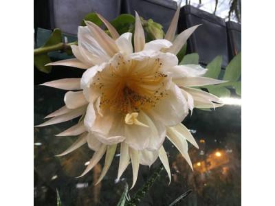 Цветок Царица ночи Золотое сердце впервые расцвела в Ботаническом саду МГУ